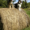 Snicker-and-Sheridan-on-a-hay-bale
