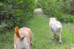 Watson-and-Bella-on-the-way-to-the-pond